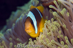 clownfish by Luc Rooman